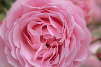 Absolut de Trandafir de Damasc